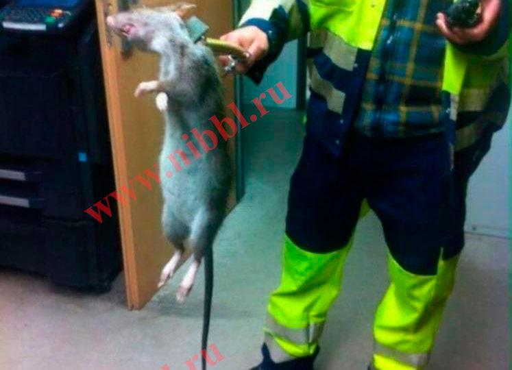 Крысы мутанты в московской подземки